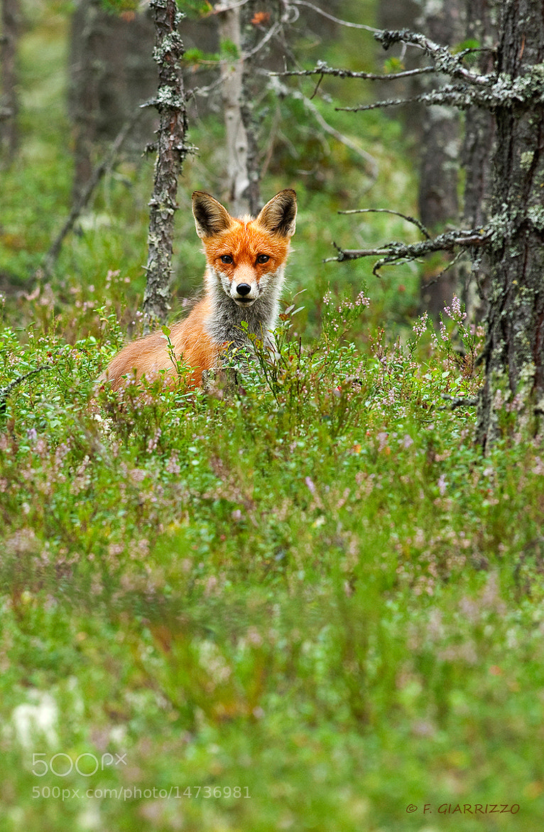 Photograph Red fox by Fabio Giarrizzo on 500px