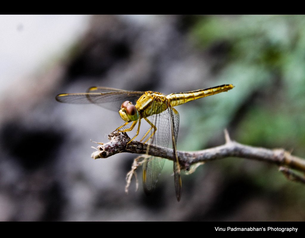 Photograph Dragon Fly by Vinu Padmanabhan on 500px