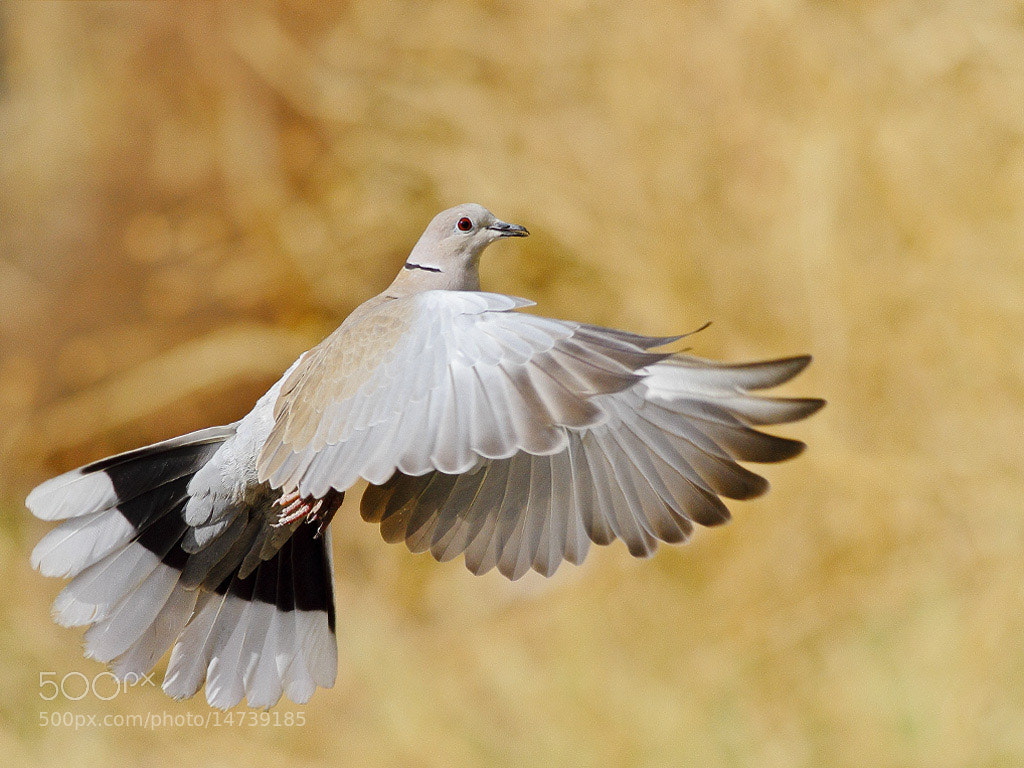 Photograph Eurasian Collared Dove  in flight  by mazouz abdelaziz on 500px