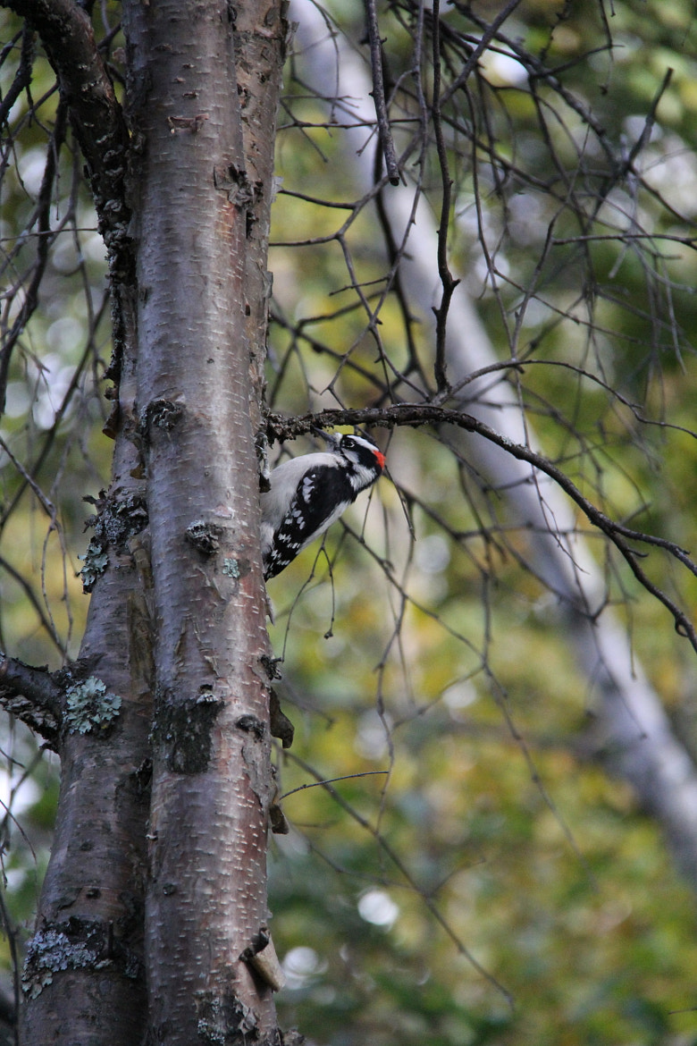 Photograph Downy Woodpecker by Twinkle Banerjee on 500px