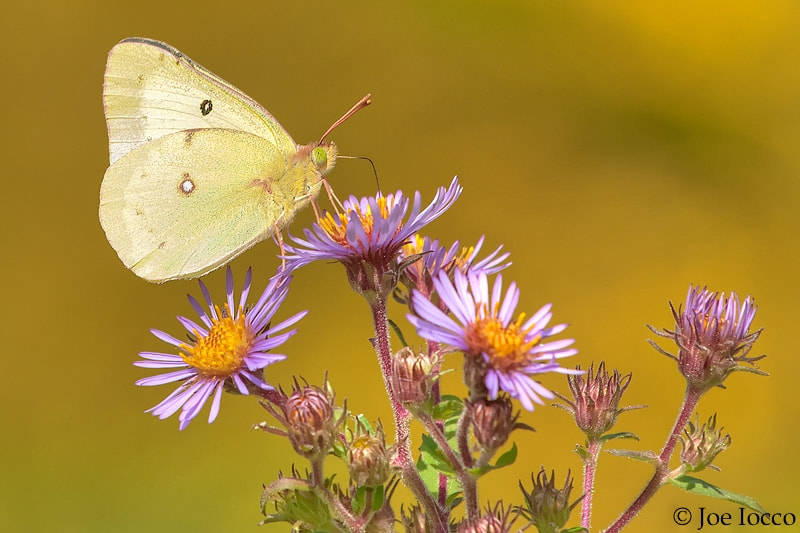 Photograph SULPHUR BUTTERFLY by Joe Iocco on 500px