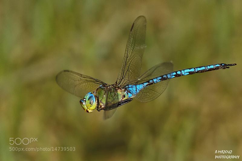 Photograph Blue dragonfly in flight by mazouz abdelaziz on 500px