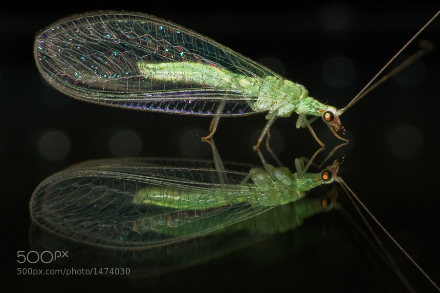 Photograph Green Lacewing by Stavros Markopoulos on 500px