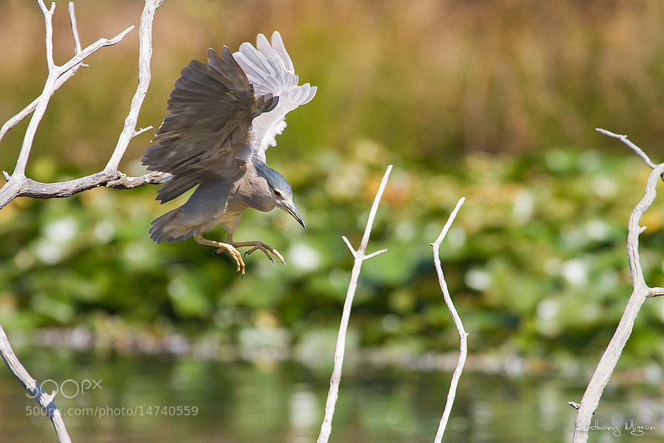 Photograph Black crowned Night Heron by Anthony Migeon on 500px