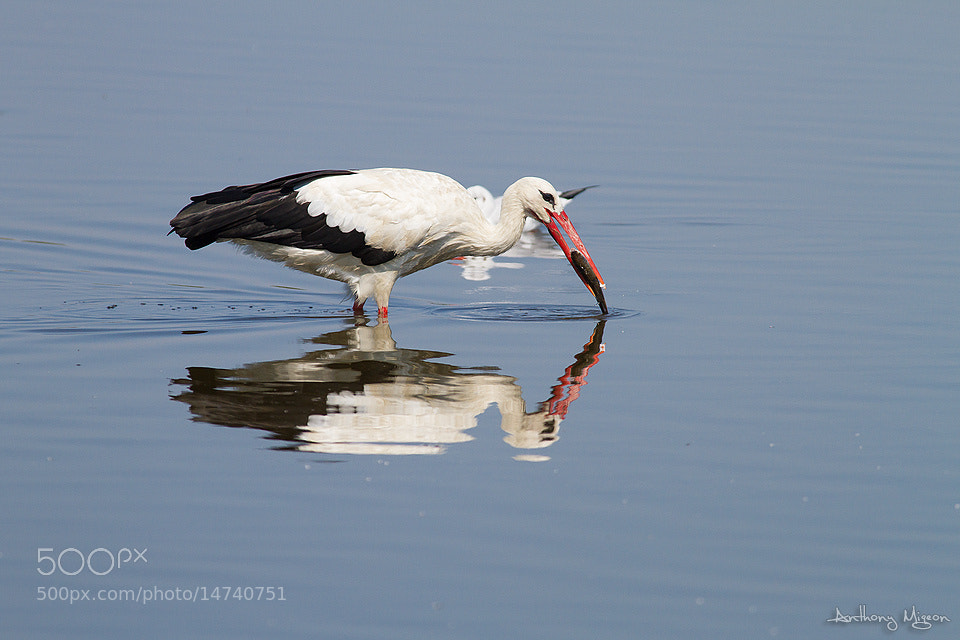 Photograph White stork fishing ! by Anthony Migeon on 500px