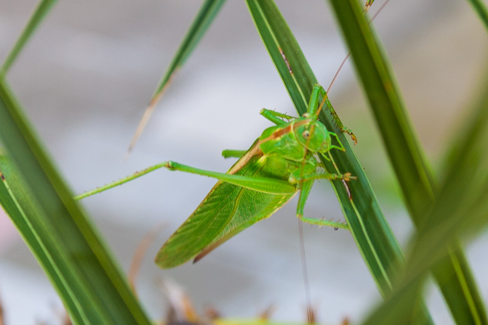 Photograph Grasshopper by Bruno Negovec on 500px