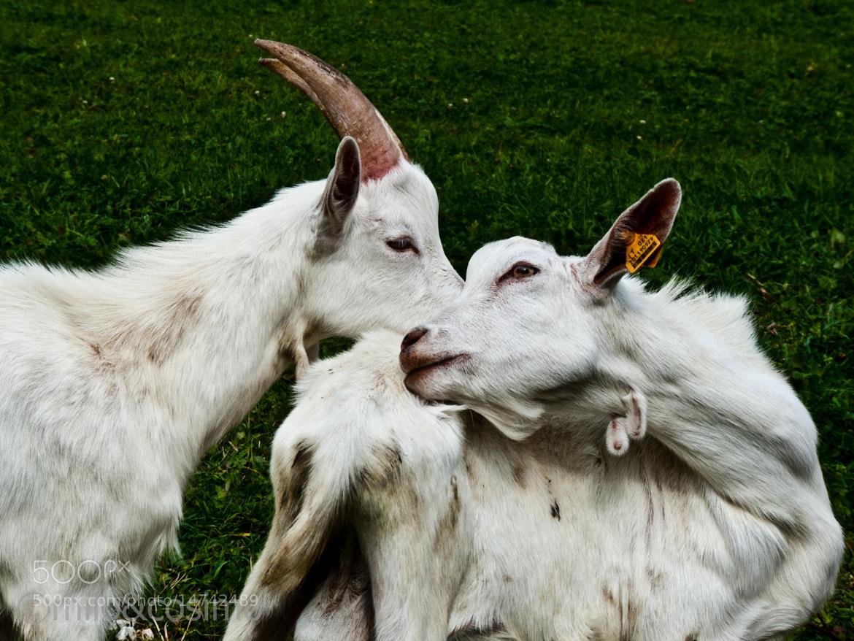 Photograph Goats by Milo E Cosimo Fanfoto on 500px