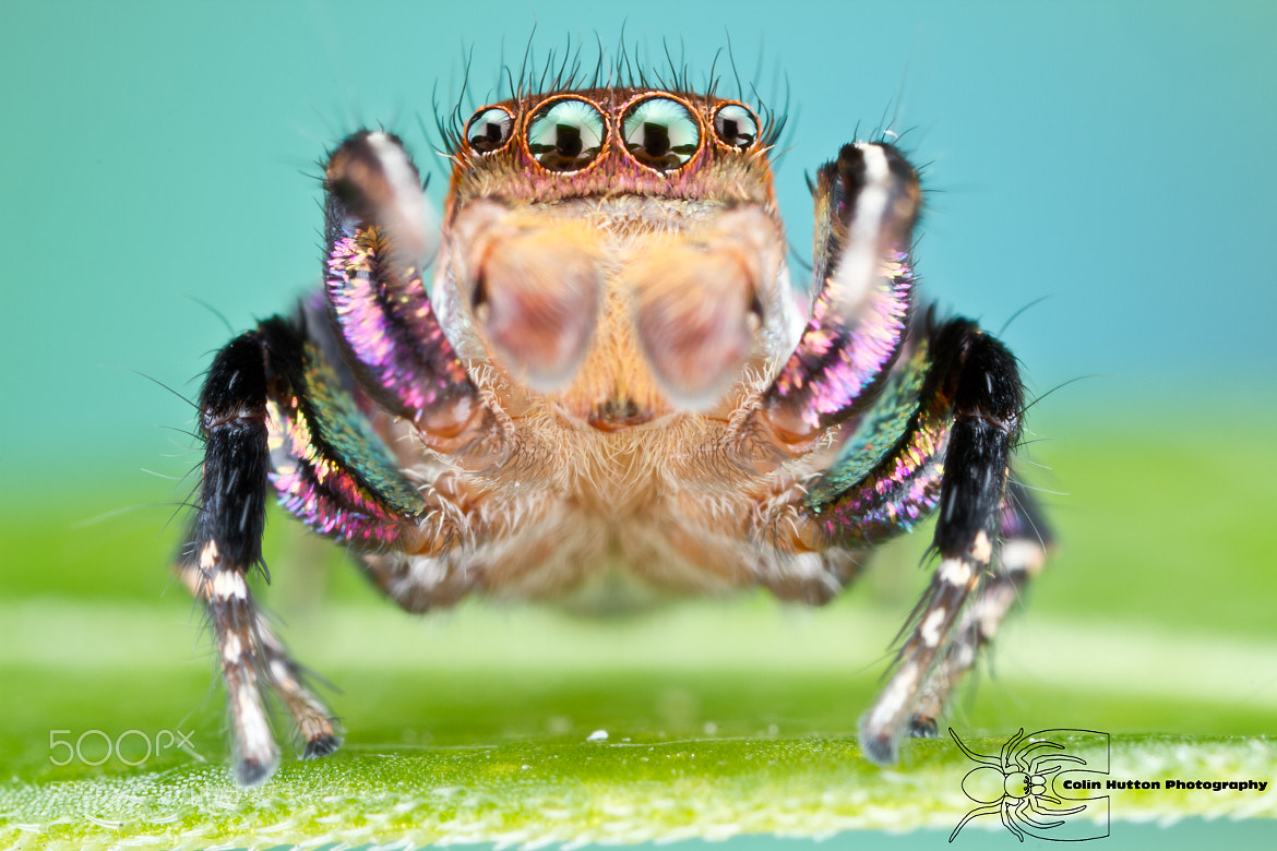 Photograph Habronattus hallani by Colin Hutton on 500px
