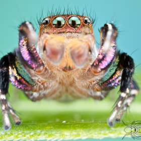 Habronattus hallani by Colin Hutton (ColinHuttonPhotography)) on 500px.com