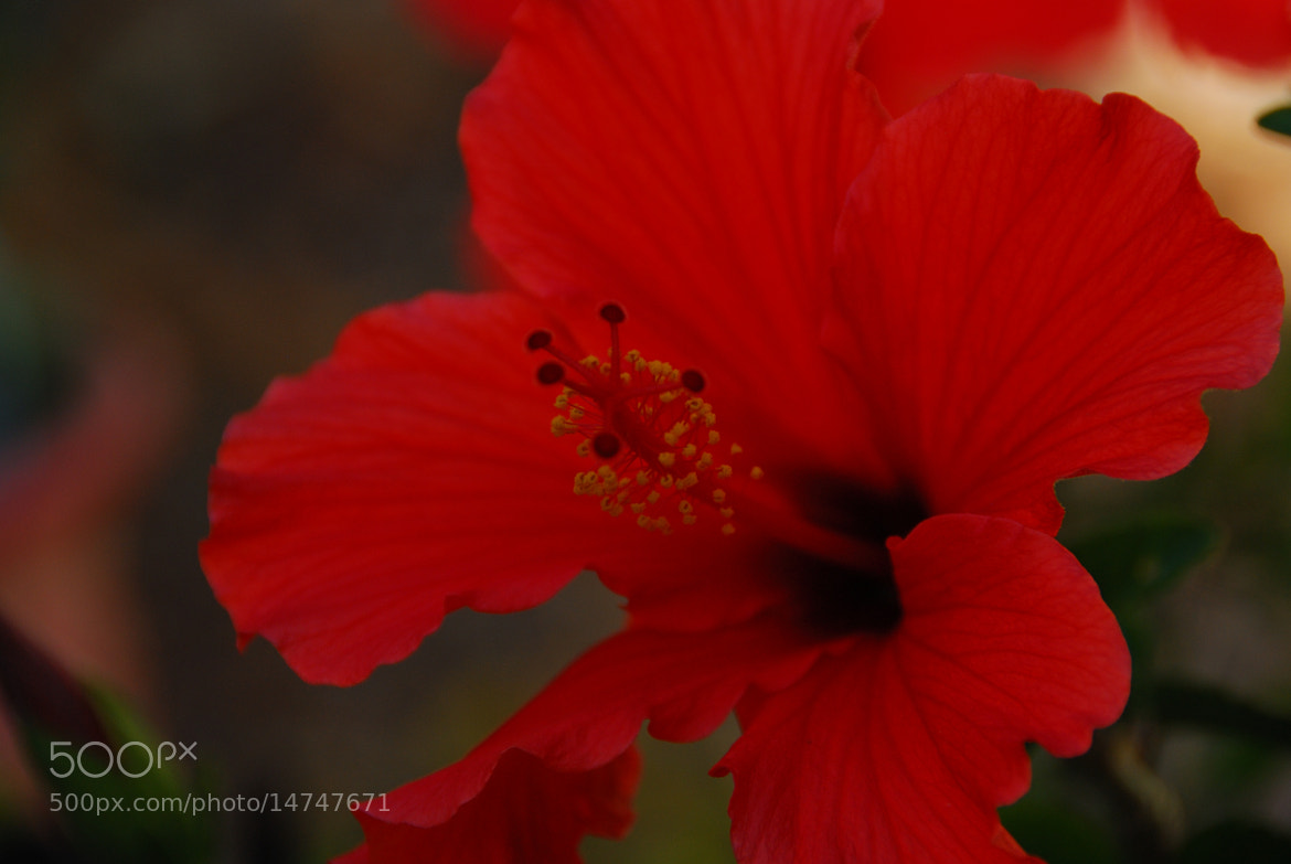 Photograph Hibiscus Unfurled by FREDERICK D. PERRRY on 500px