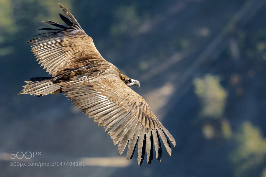 Cinereous Vulture in flight by FranoisSchneider