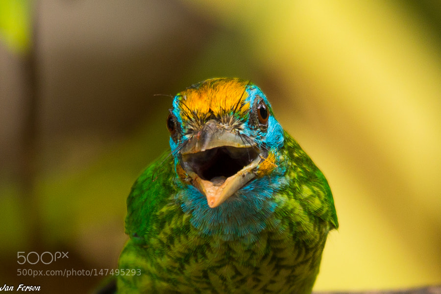 Yelow Fronted Barbet by janferson