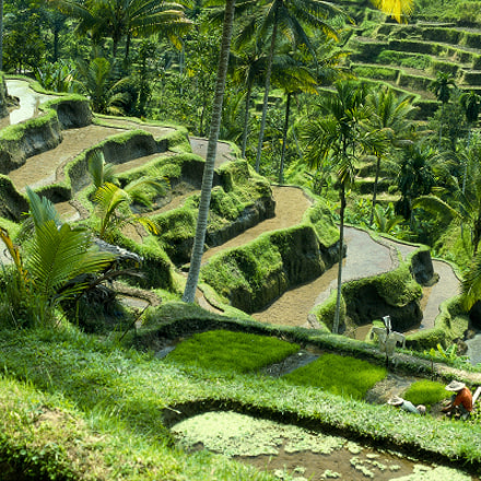 Rice Terraces - Tegalalang - Bali (Indonesia)