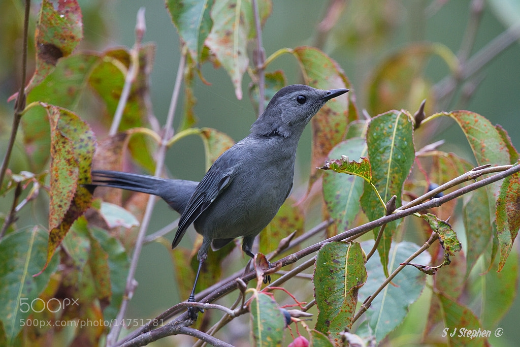 Photograph Gray Catbird by Stephen Stephen on 500px