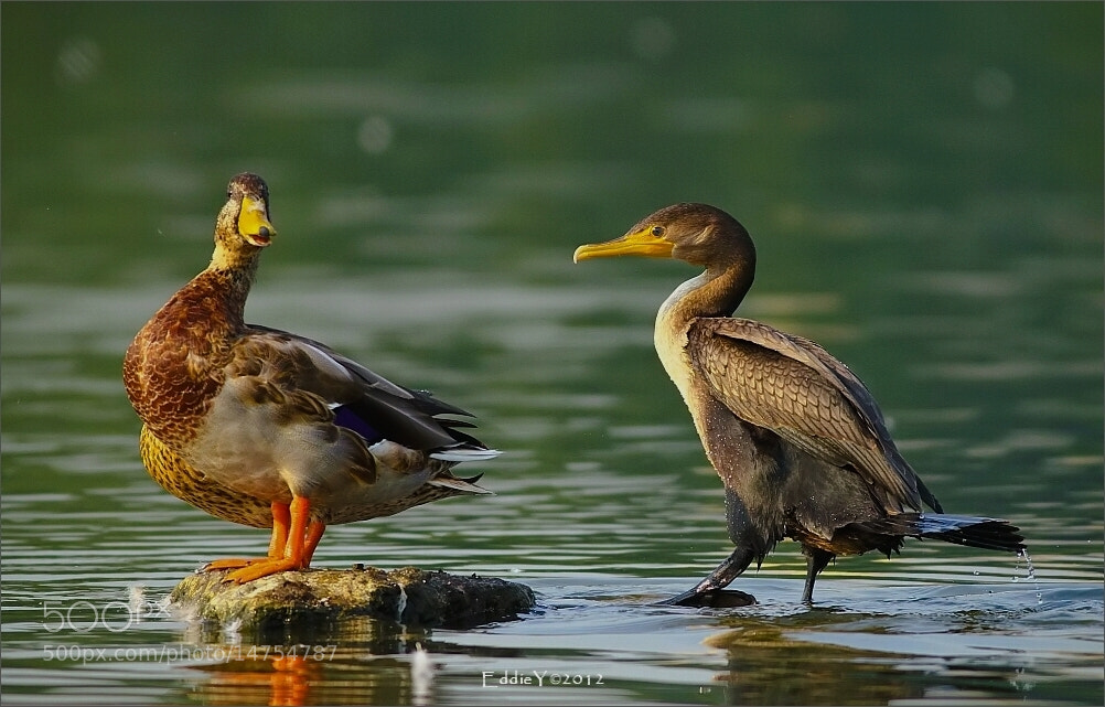 Photograph The Morning Ducks Talk by Eddie Yu on 500px