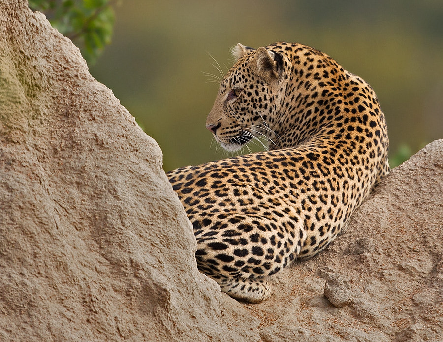 Photograph Letaba Leopard by Francois Retief on 500px