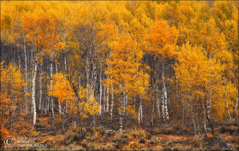 Photograph Aspen Gold by Zack Schnepf on 500px