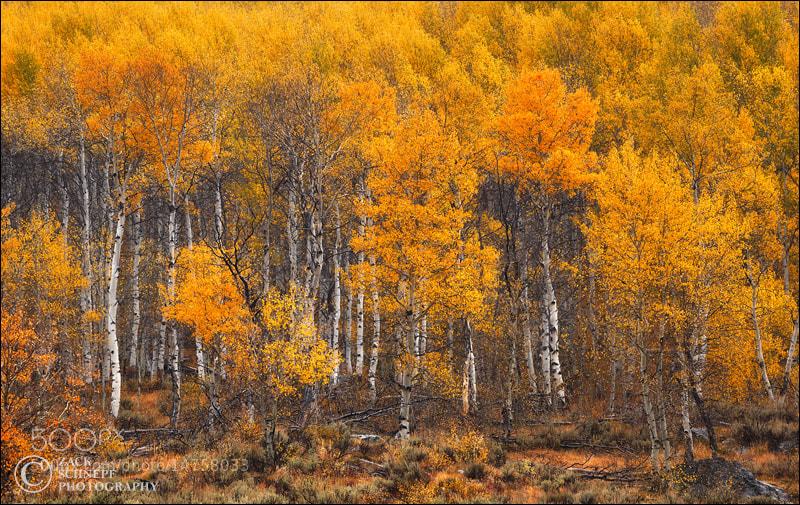 Photograph Aspen Gold by Zack Schnepf on 500px