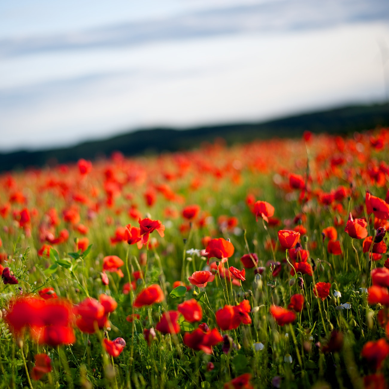 Photograph Red poppy by Marc Marchal on 500px