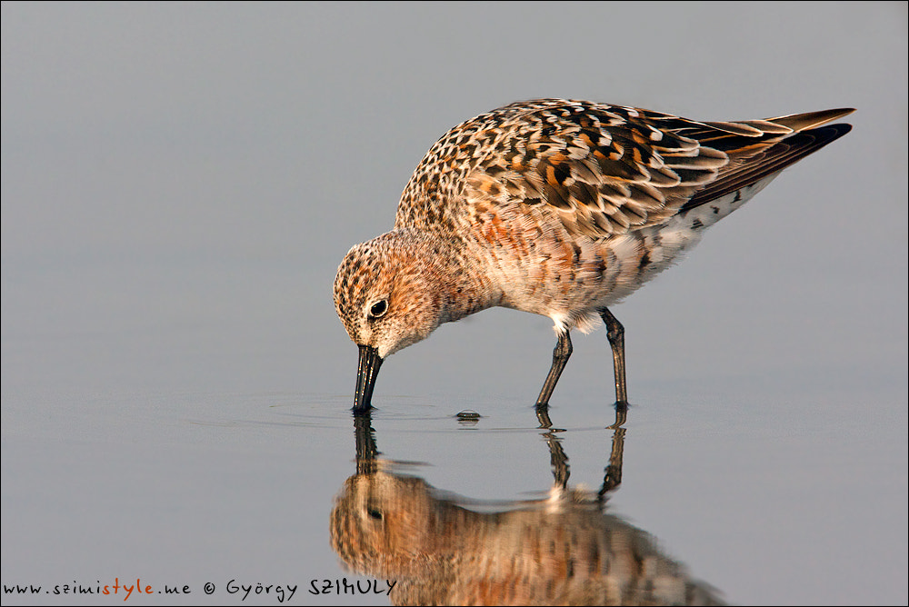 Photograph Curlew Sandpiper (Calidris ferruginea) by Gyorgy Szimuly on 500px