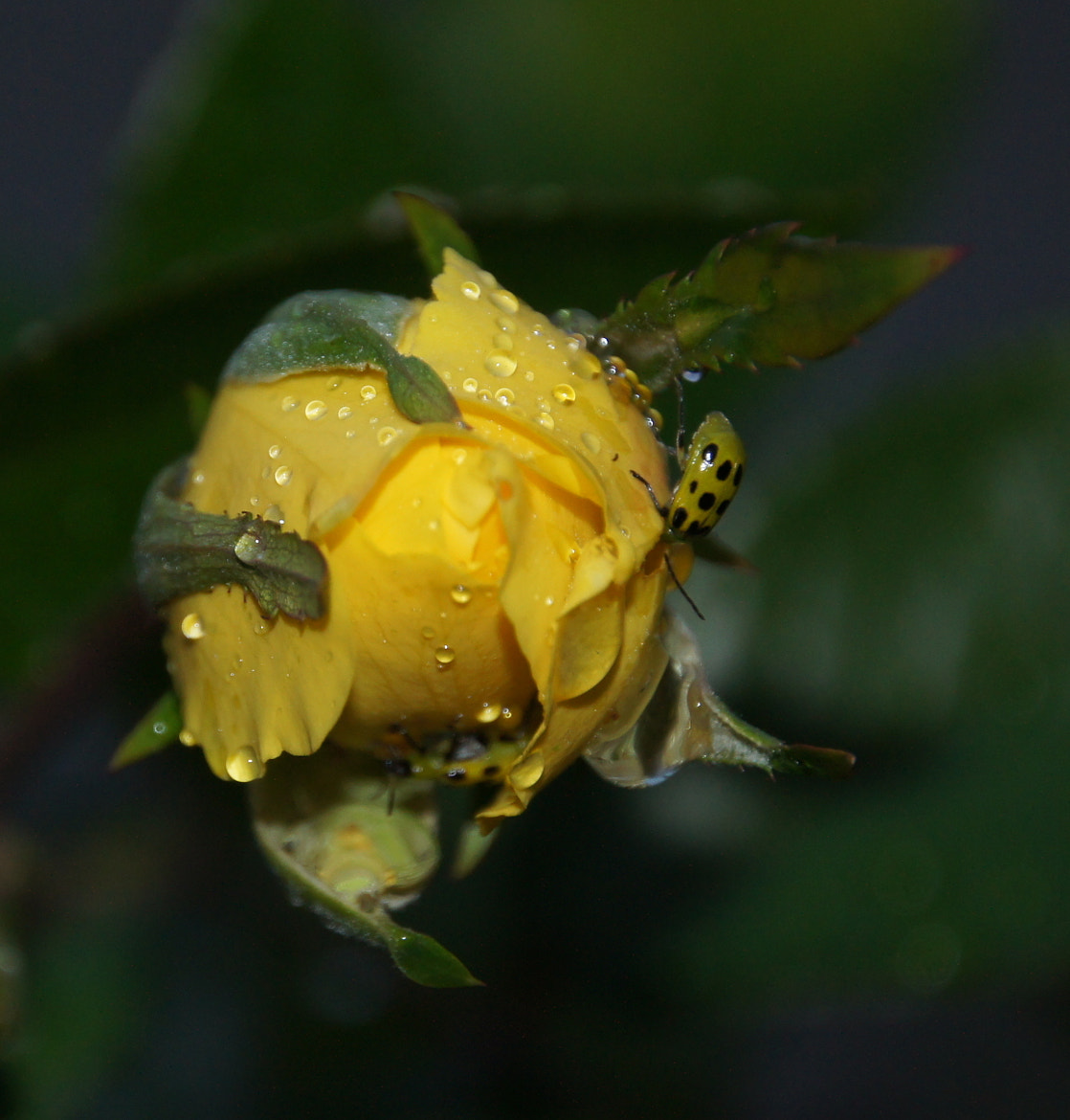 Photograph Last rose of summer by Reda Brooks Foster on 500px