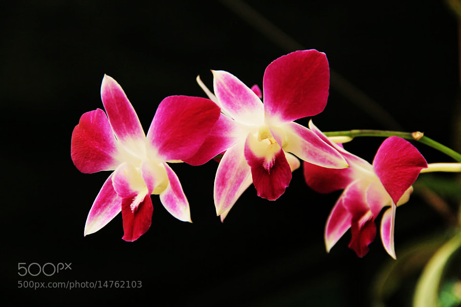 Flowers by Manish Shakya (MrShakya)) on 500px.com