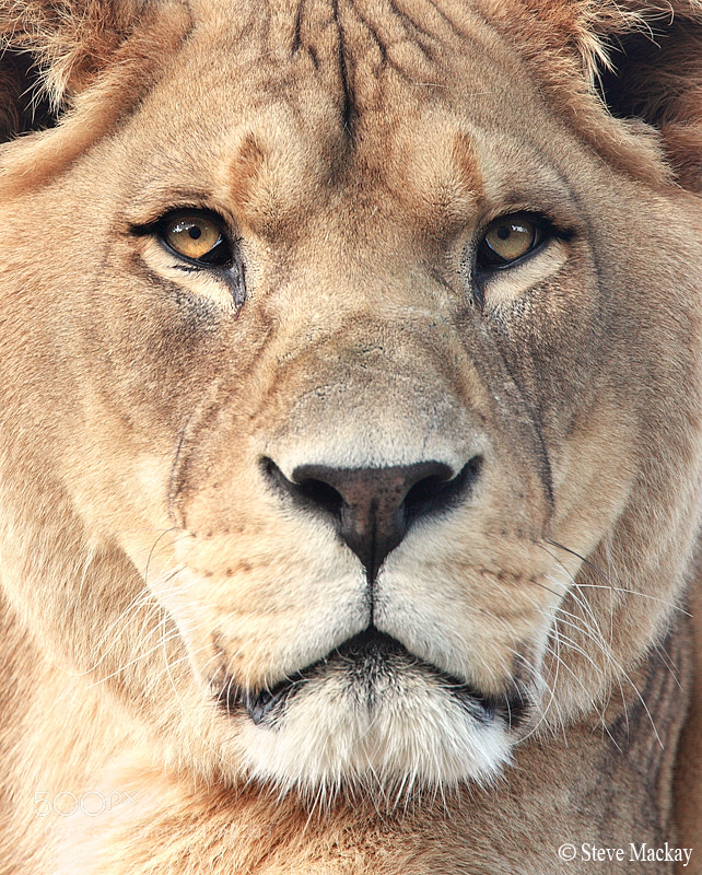 Photograph Lioness by Steve Mackay on 500px
