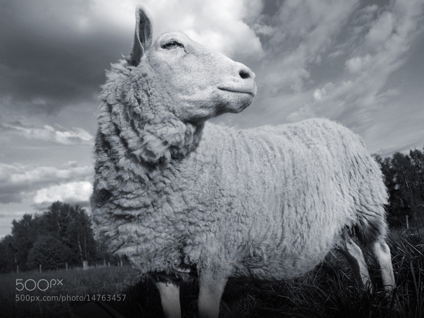 Photograph Sheep by Pekka Kovala on 500px