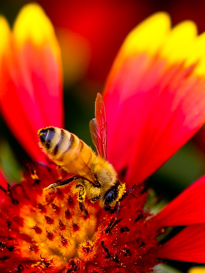 Photograph Bee collecting pollen by Qi Zhi on 500px
