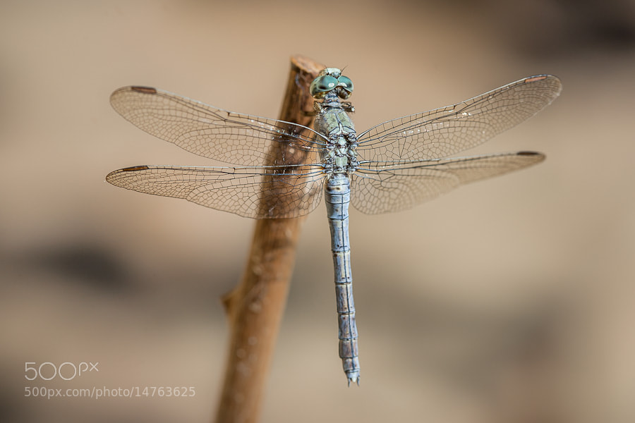 Photograph Orthetrum brunneum ♀ by Stavros Markopoulos on 500px