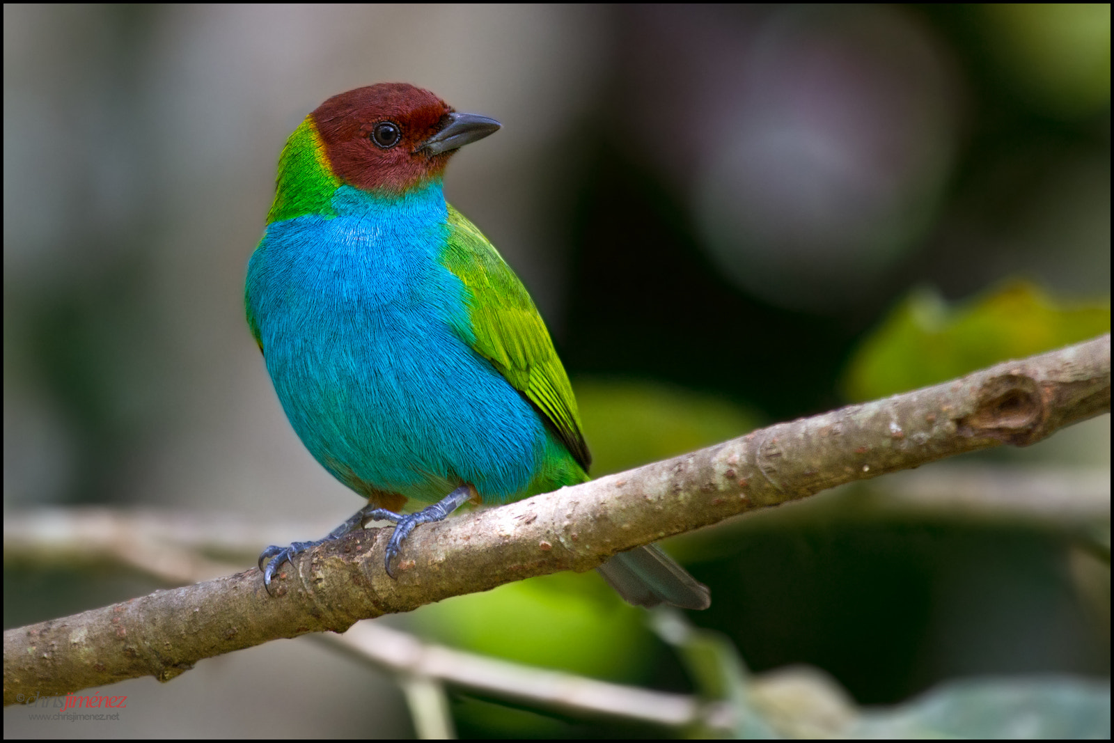 Photograph Bay-headed Tanager by Chris Jimenez on 500px