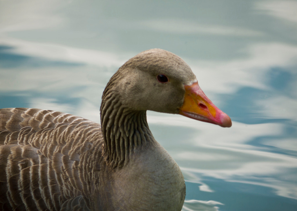 Photograph Goose by Marianne Knight on 500px