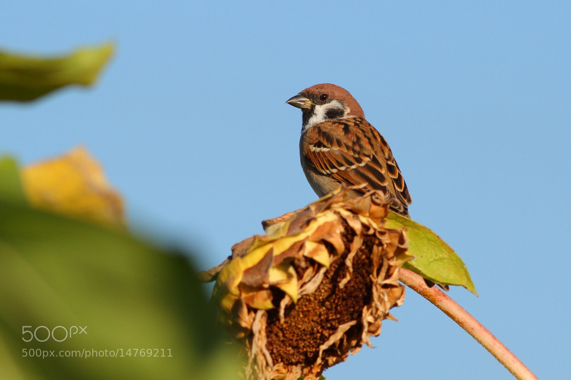 Photograph Eurasian Tree Sparrow by Yellow Monkey on 500px