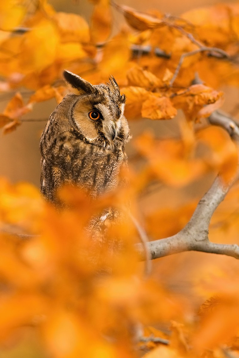 Photograph Longeared owl by Tomáš Hilger on 500px