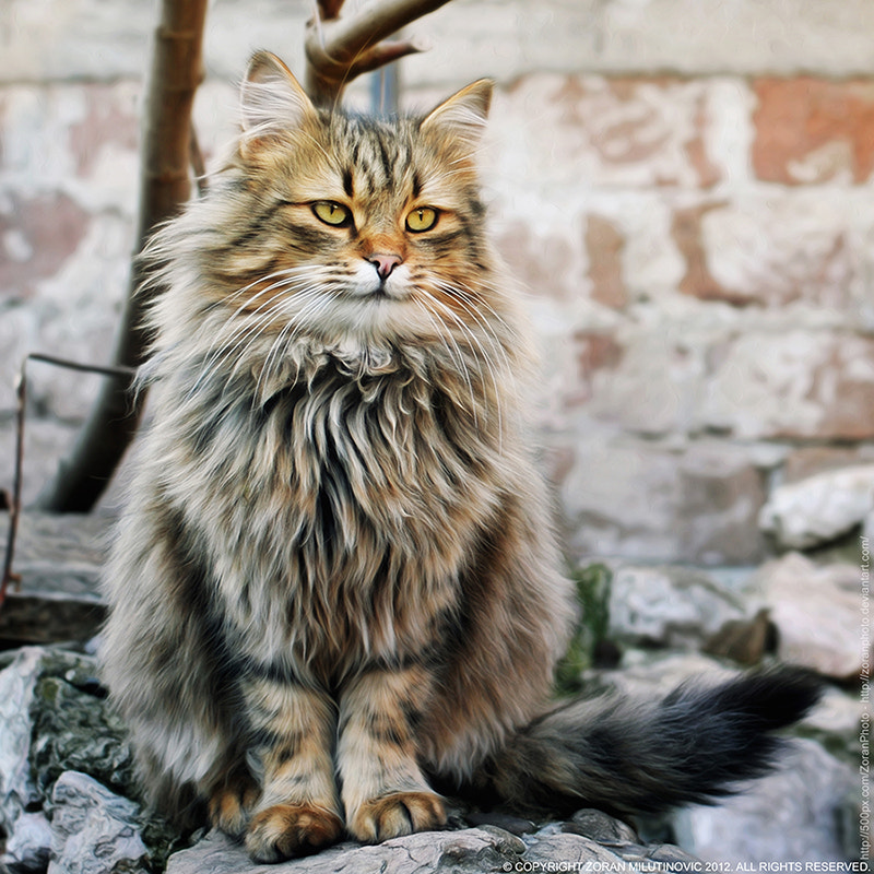 Photograph Fluffy The King by Zoran Milutinovic on 500px