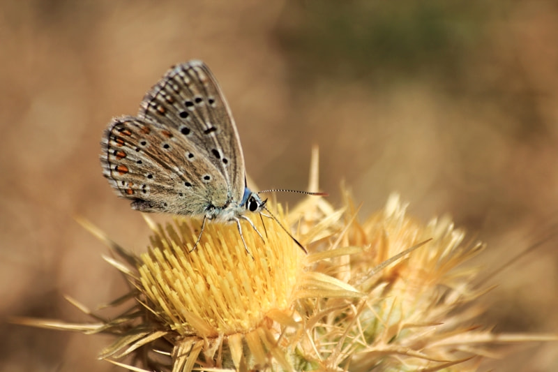 Photograph Lycaenidae by Filiz Barışkan on 500px