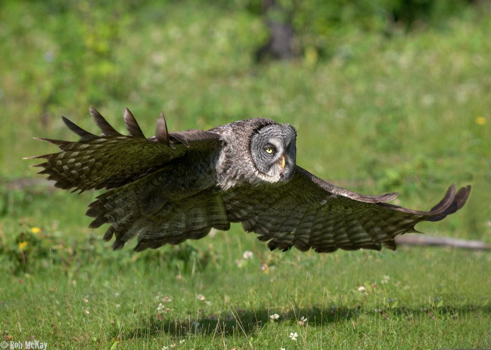 Photograph Grey Owls Over Wildflowers by Rob McKay on 500px