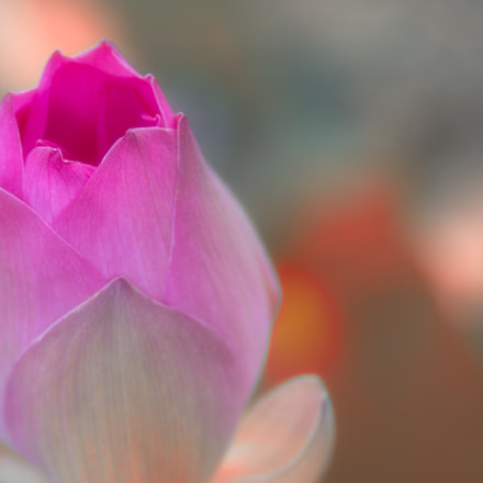 the lotus, Pentax K-5, smc PENTAX-FA 135mm F2.8 [IF]