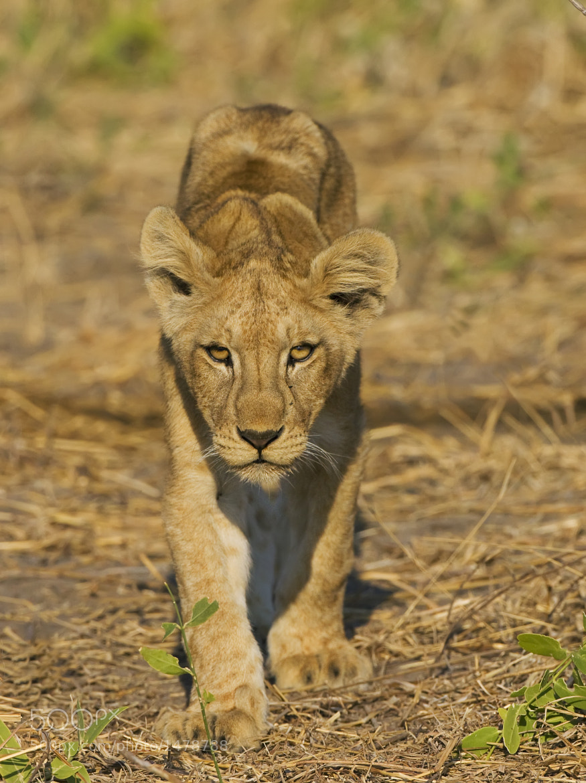 Photograph Lion Cub by Ken Watkins on 500px