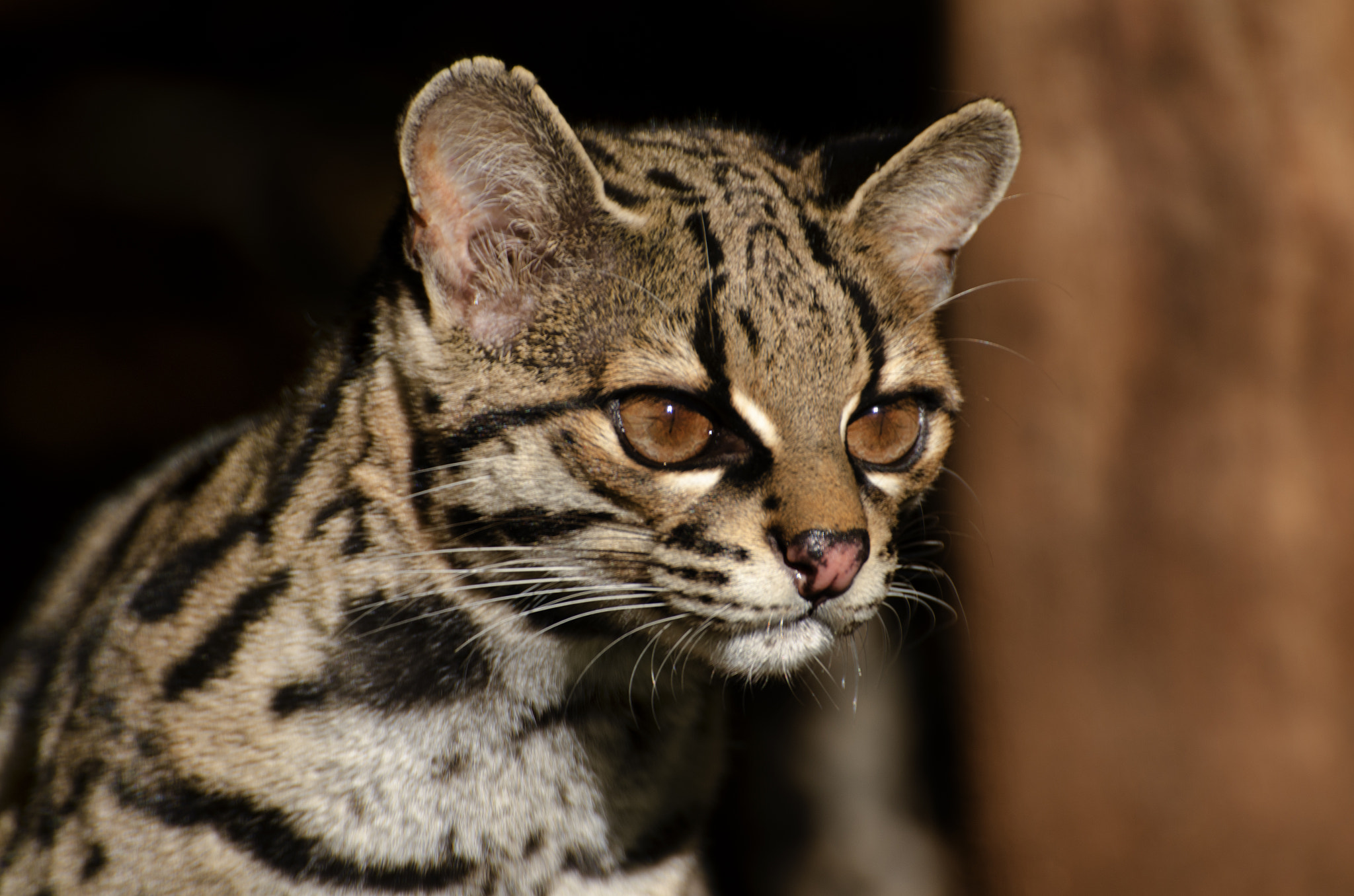 Photograph Margay Cat by Philip Turner on 500px