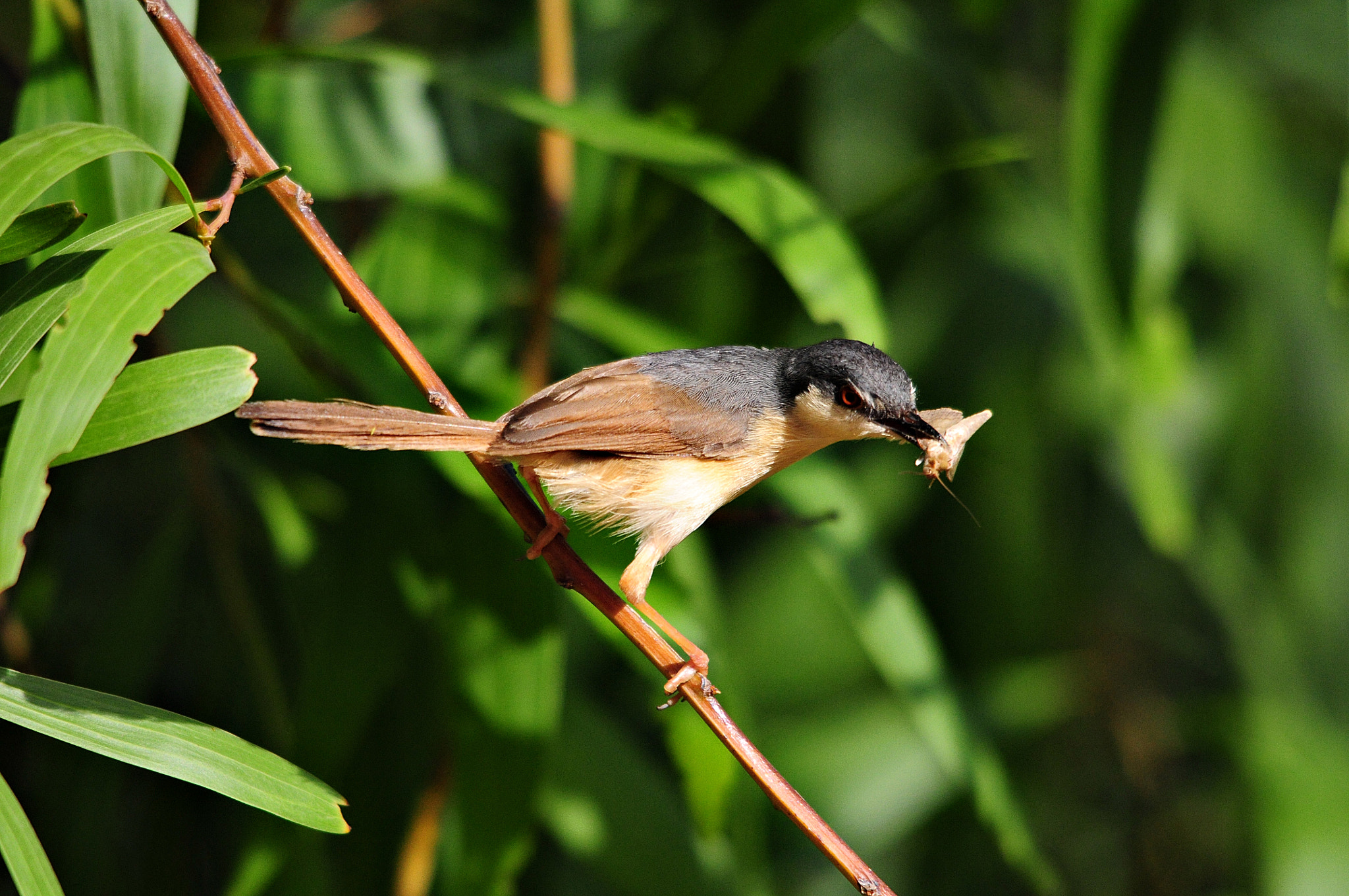 Photograph Ashy Prinia Catches The Moth by dhiraj gaurh on 500px