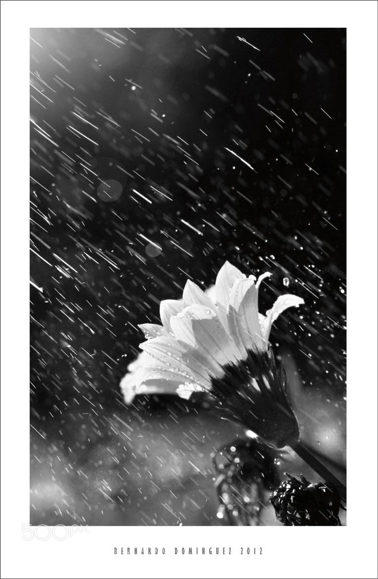 Photograph The rain and the flower #2  B&N by Bernardo Dominguez on 500px
