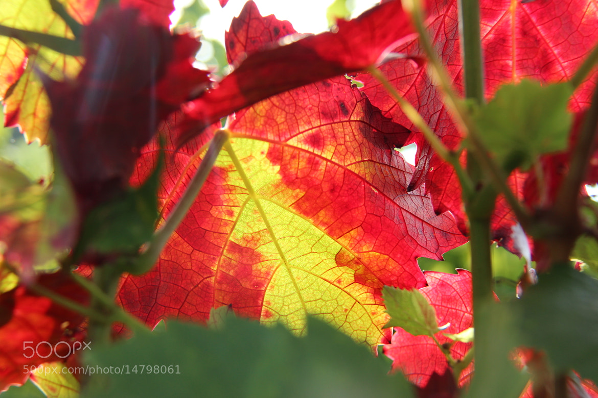 Photograph Leaf Turning Red by John Win on 500px