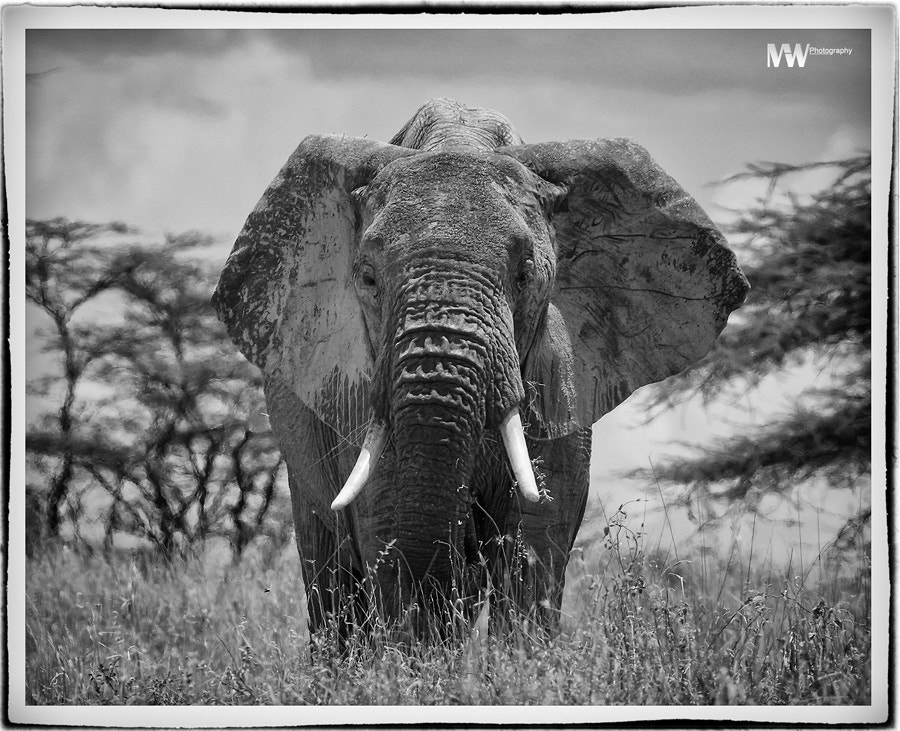 Photograph Elephant Bull by Mike Wanini on 500px