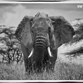 Elephant Bull by Mike Wanini (mwanini)) on 500px.com
