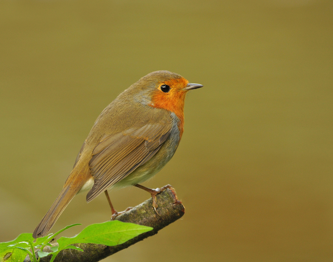 Photograph Robin Profile  by Keith Bannister on 500px