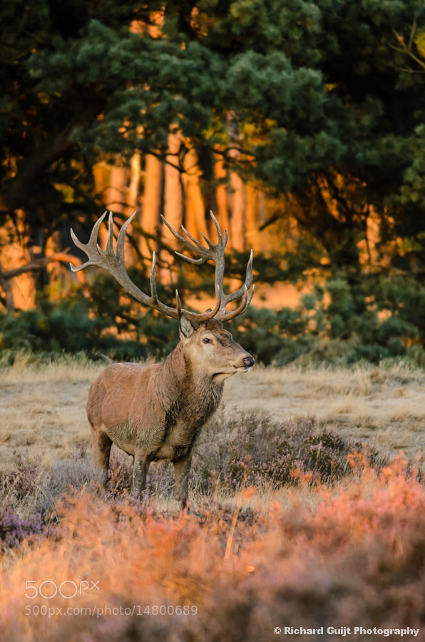 Photograph Red deer / Edelhert (Cervus elaphus) by Richard Guijt on 500px