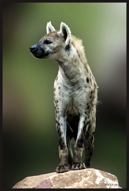 Photograph Hyena by Judith W on 500px