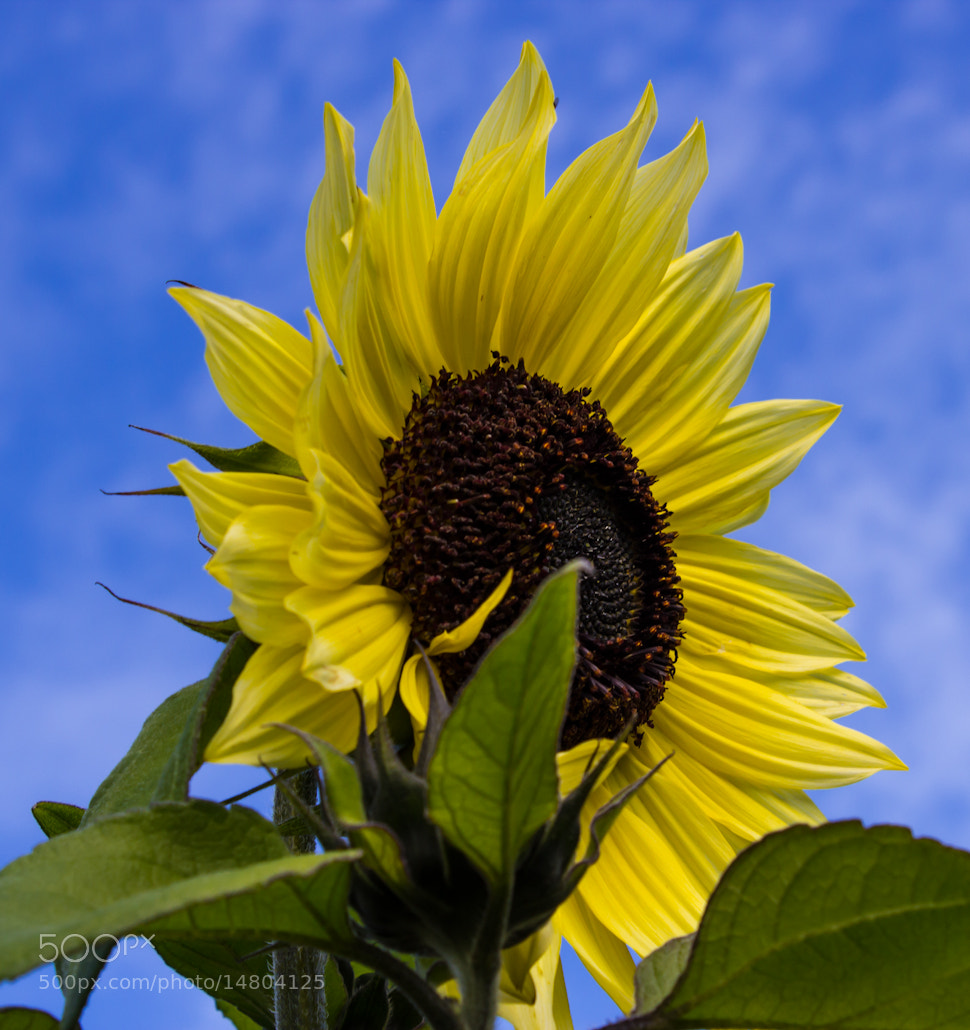 Photograph Sunflower 2 by Adam Z on 500px