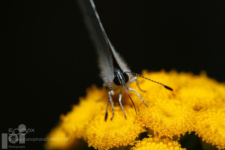 Photograph butterfly by Iztok Pavlin on 500px